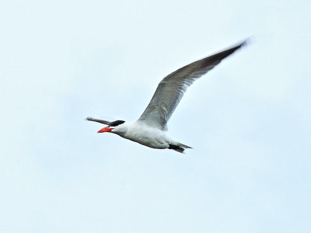 Caspian Tern in flight 20130812