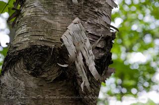 Peeling Birch