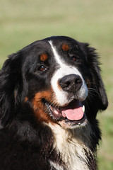 appenzeller sennenhund(0.0), setter(0.0), dog breed(1.0), animal(1.0), dog(1.0), hovawart(1.0), pet(1.0), greater swiss mountain dog(1.0), entlebucher mountain dog(1.0), bernese mountain dog(1.0), carnivoran(1.0),