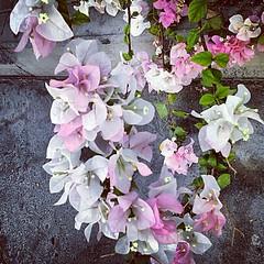 A #tinge of #pink #Flowers #dubai #instagram #tagsforlikes