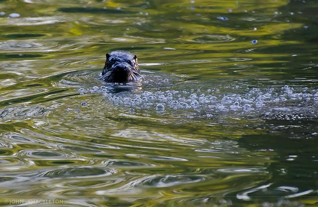 Otter / Nutria (Lutra lutra) - Gijón, Asturias