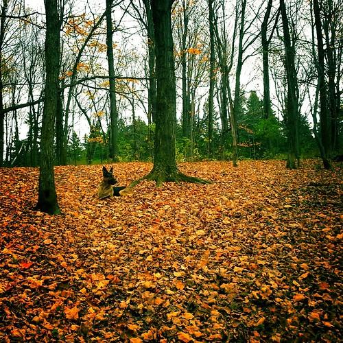 dog fall woods treesandleaves streamzoo