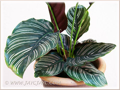 Variegated foliage of Calathea ornata 'Sanderiana', added to our courtyard - Oct 18 2013