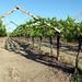 Small photo of Kakamas vineyards, Northern Cape