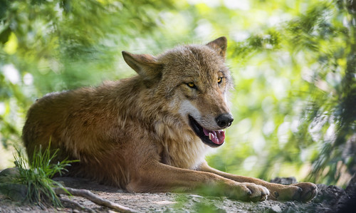 Lying wolf and vegetation by Tambako the Jaguar