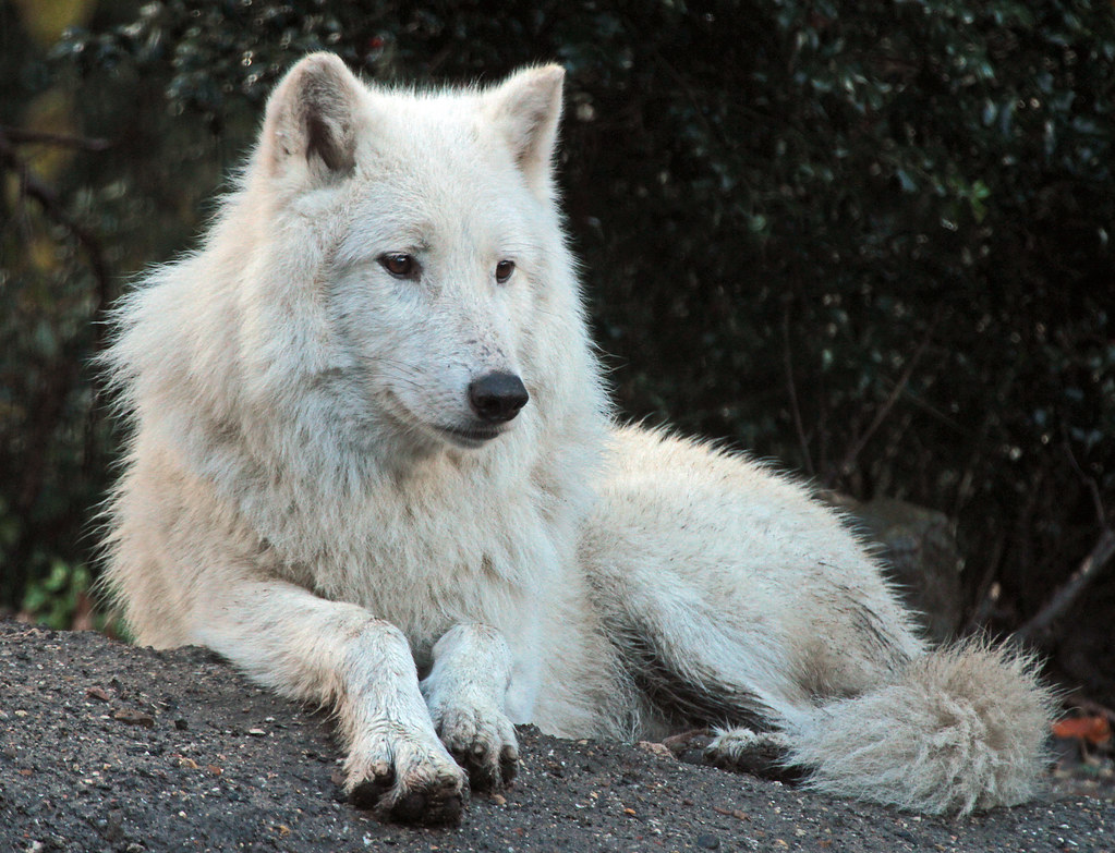 hudsonbay wolf artis IMG_0047