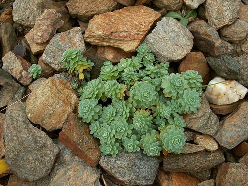 Sedum pachyclados (Rhodiola)