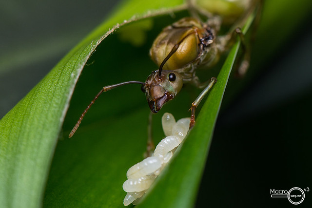 An Oecophylla smaragdina queen guarding her larvae