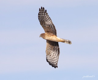 """Northern Harrier"" ""Circus cyaneus"""