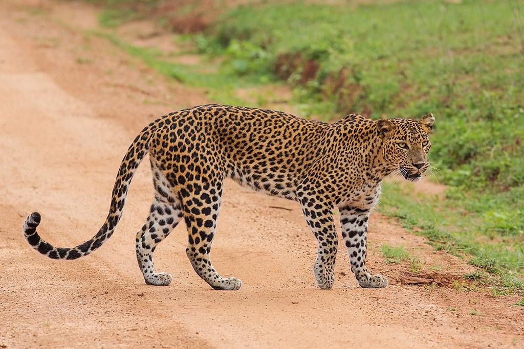 Leopard Sri Lanka 2013-11-27