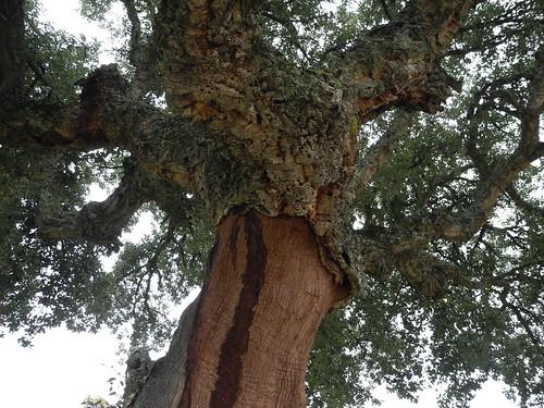 El árbol del corcho