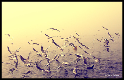 camera sea lake bird water birds fog canon freedom fly flying seagull gull free macedonia 6d canonef50mmf14usm canoneos6d taniaphotography taniakoleska