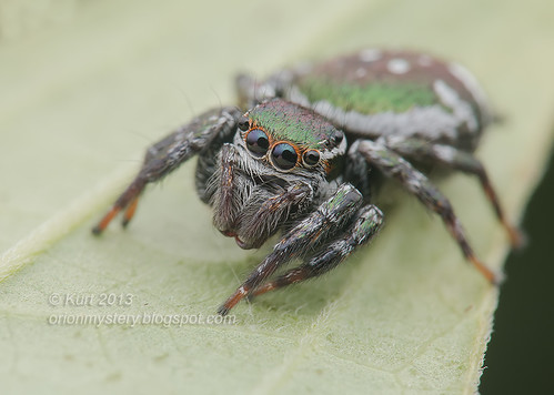 Jumping Spider IMG_0564 copy