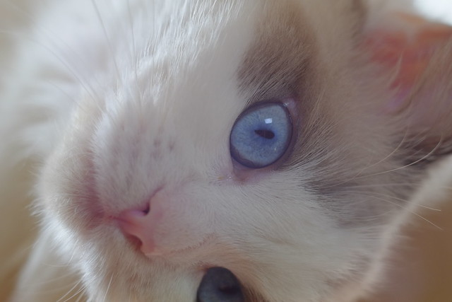 ragdoll close-up