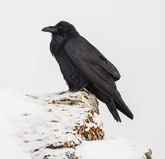 blackbird(0.0), animal(1.0), wing(1.0), raven(1.0), snow(1.0), crow(1.0), fauna(1.0), close-up(1.0), american crow(1.0), beak(1.0), bird(1.0), rook(1.0), wildlife(1.0),