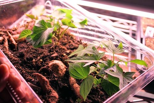 sweet potato sprouts 168