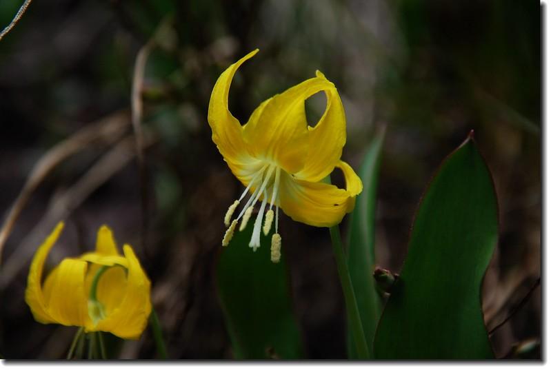 Glacier Lily 2