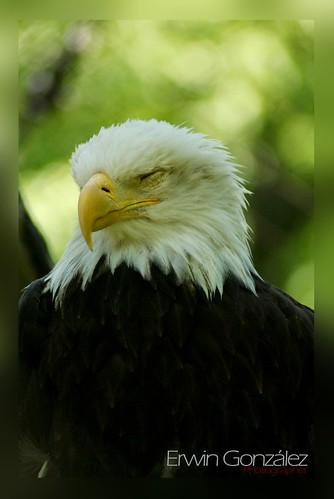 Aguila durmiendo