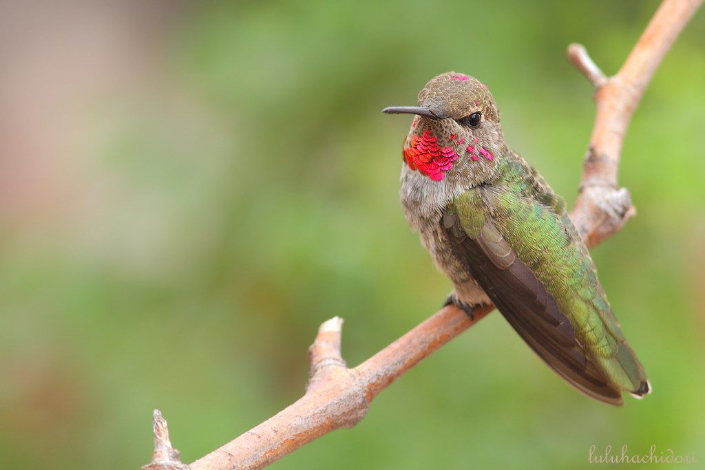 immature male Anna's Hummingbird 100714-2