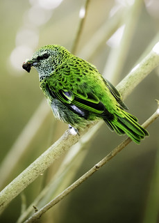 Northern - spotted Tanager