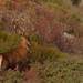 Cerf et biche (Cervus elaphus)