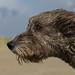 Irish Wolfhound in the wind