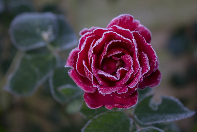 Frosty Rose, Canon EOS 1200D, Canon EF-S 18-55mm f/3.5-5.6 IS II