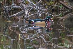 Wood duck (Eng) - Canard branchu (Fr) - Aix sponsa (Lat)