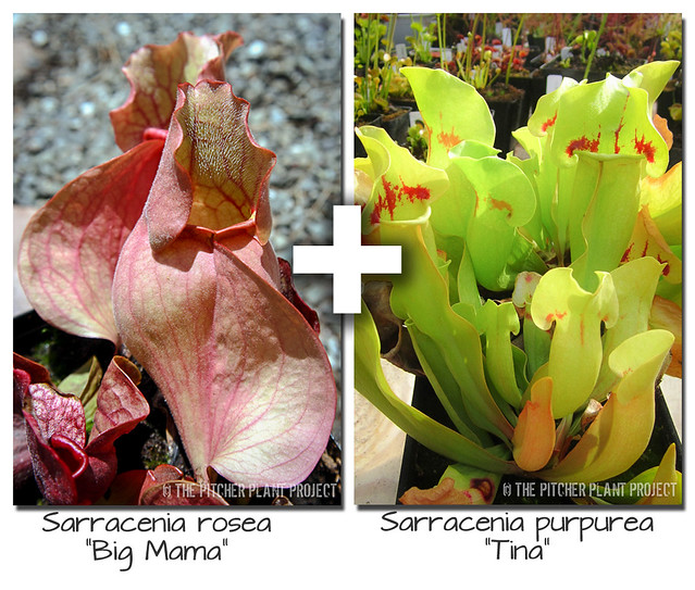 "Sarracenia rosea ""Big Mama"" x purpurea ""Tina"""