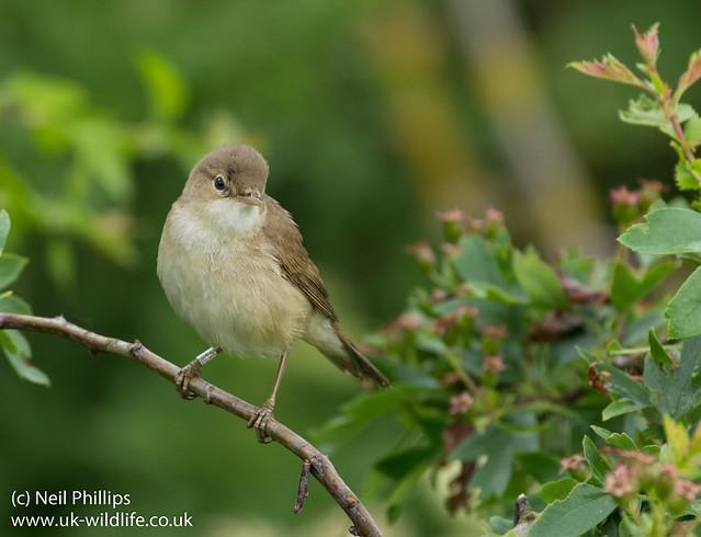 Reed warbler-2