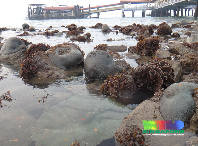 Corals regenerating naturally on artificial seawalls at Tanah Merah Ferry Terminal