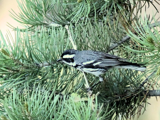 Black-throated Gray Warbler 20130618
