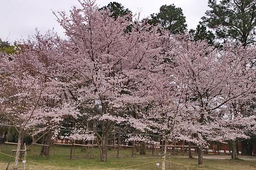 【写真】2013 桜 : 上賀茂神社/2020-09-09/IMGP9518