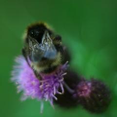 The Bum of the Flighty Bee