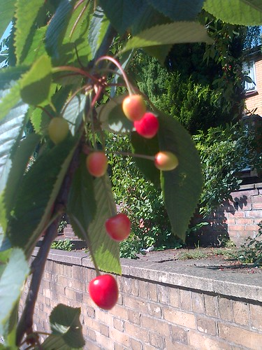 cherries Jul 13