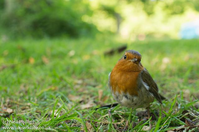 Robin wide angle Erithacus rubecula-2