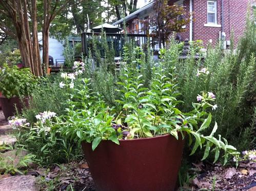 large rosemary herb selmer