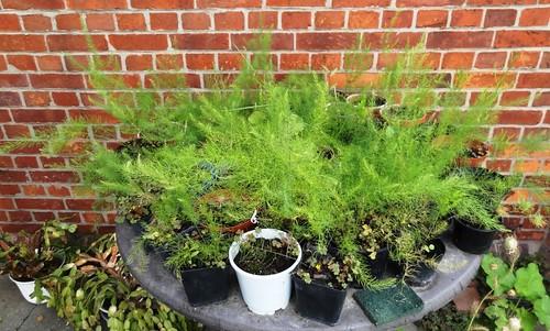 Grüner Spargel aus Samen in Töpfchen