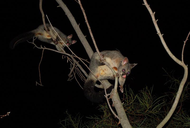 possums_2