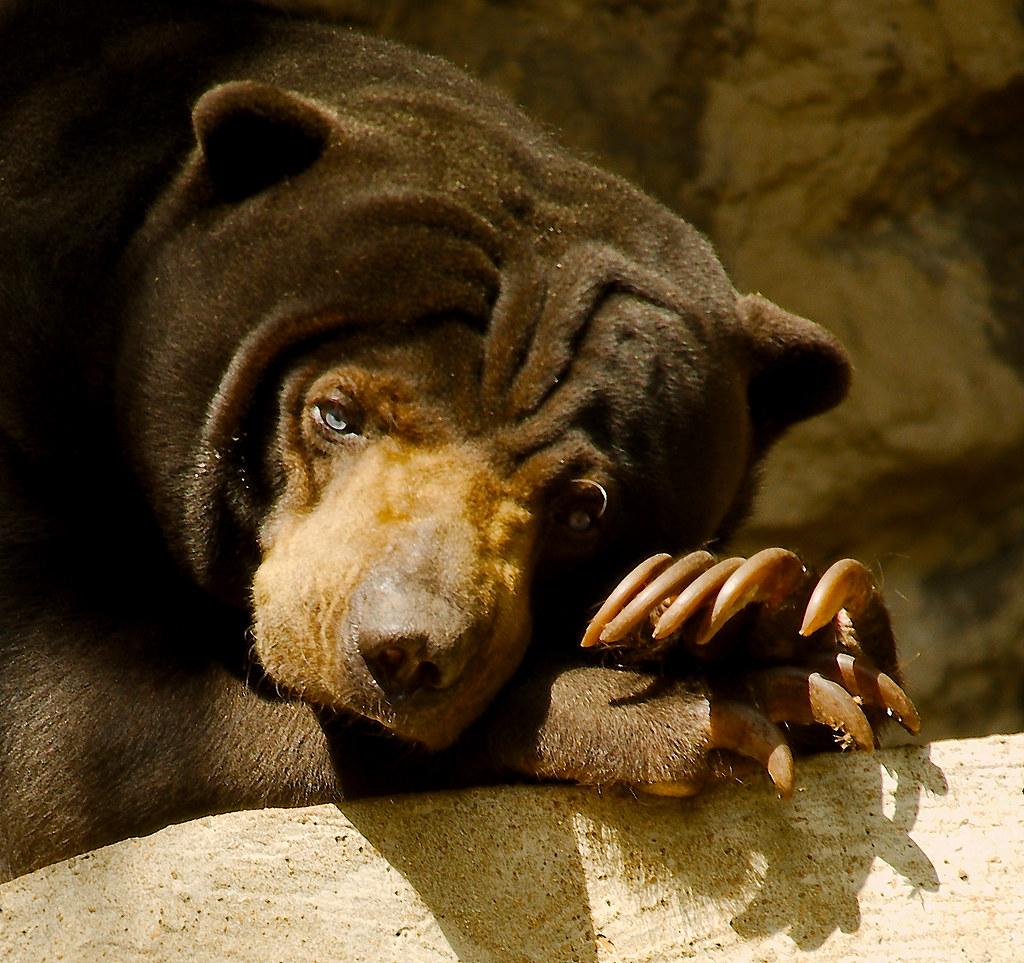 Sun Bear (Helarctos malayanus)_14_v2
