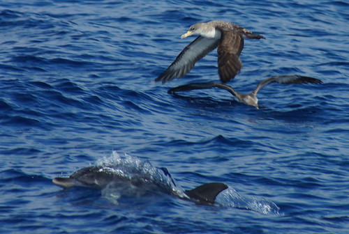 Corey's Shearwater & Spotted Dolphin