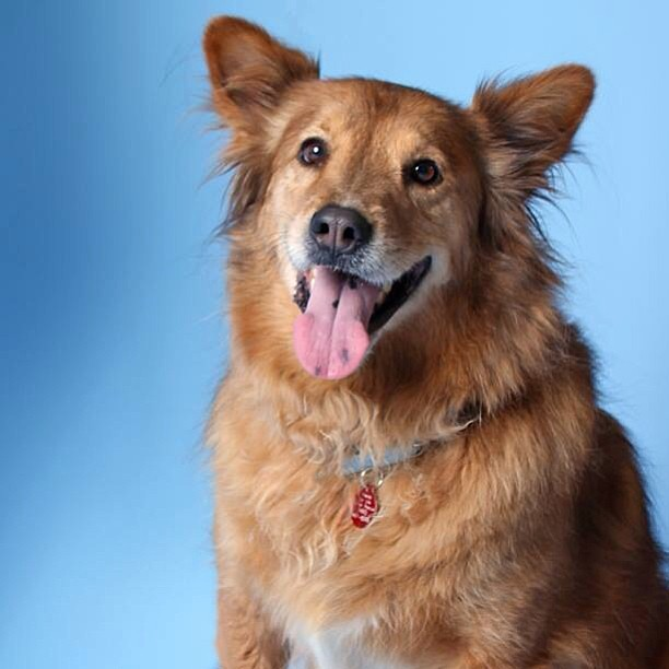 german shepherd chow mix founddog 9 6 13 gilbert az golden retriever chow chow 961