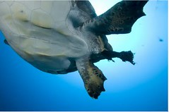 可可斯群島的綠蠵龜正在排泄塑膠垃圾的殘渣。(照片: Cristiano Paoli。)