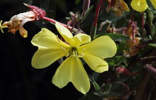 Hooker's Evening Primrose - Oenothera elata ssp. hookeri