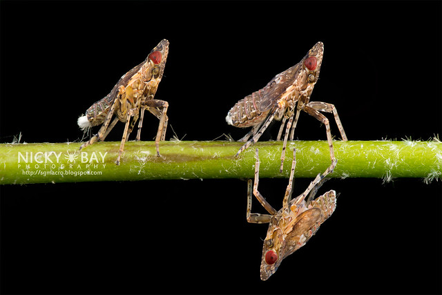 Planthoppers (Fulgoromorpha) - DSC_8912