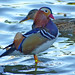 Small photo of Mandarin Duck (Aix galericulata)