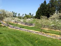 Dogwoods in bloom along Dogwood Lane at the Virginia State Arboretum