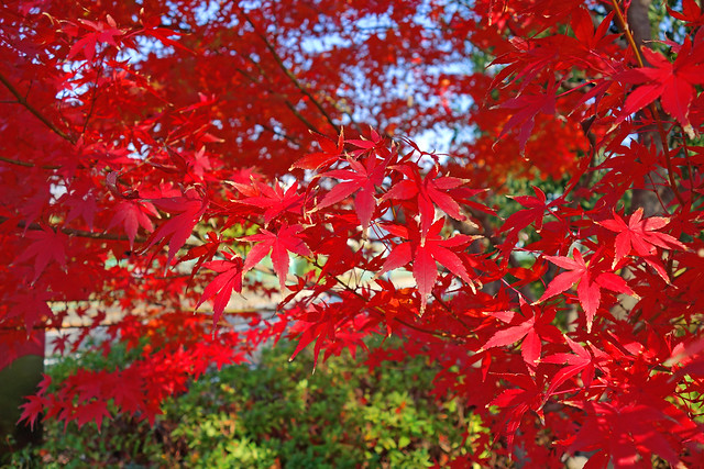 Autumn Leaves of Japanese Maple / 紅葉 - 無料写真検索fotoq