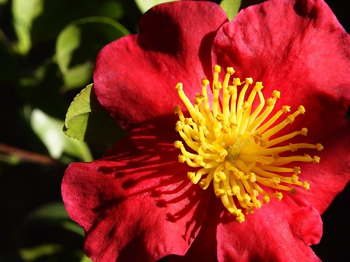 Red Camellia Flowers - 4