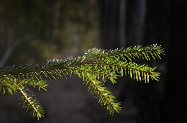 Pine | DecDaily day2